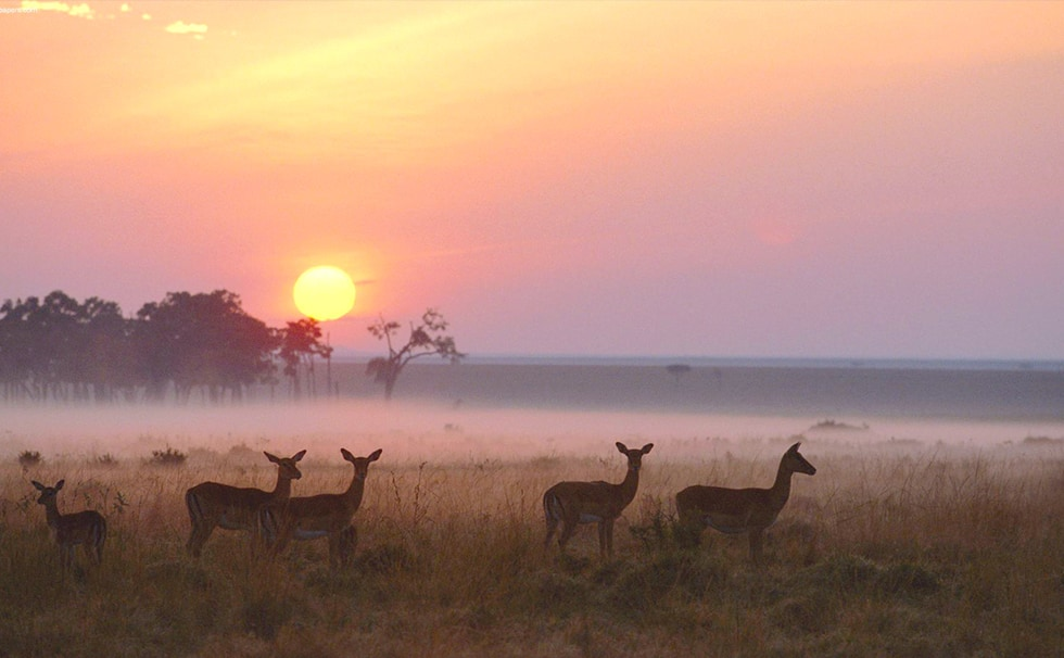 Kenya : la réserve des Masai Mara à Impala