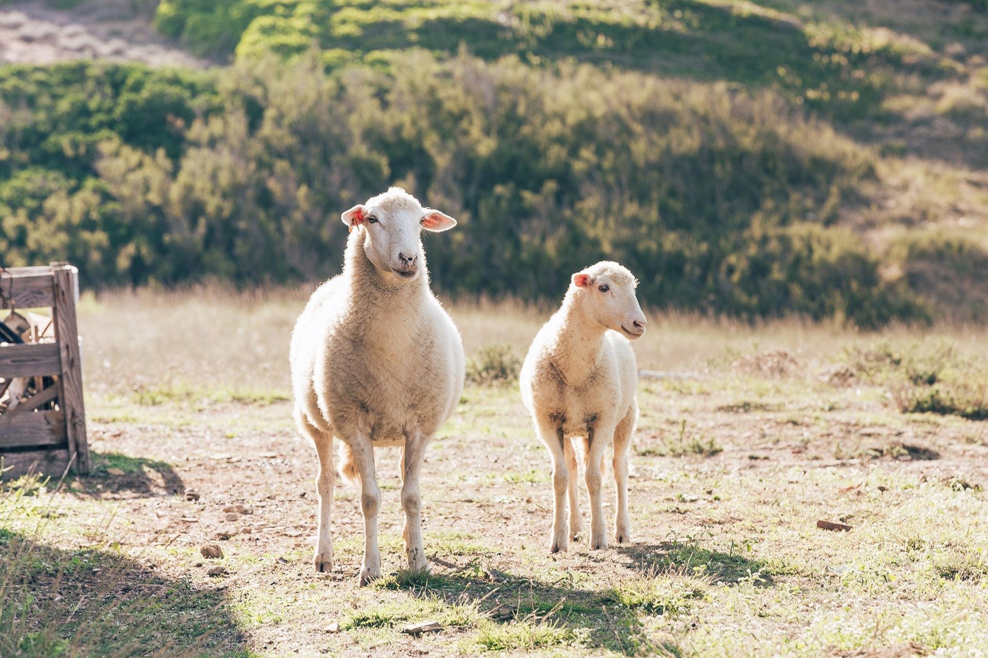 Mouton et agneau sur la plage Cavalleria à Minorque