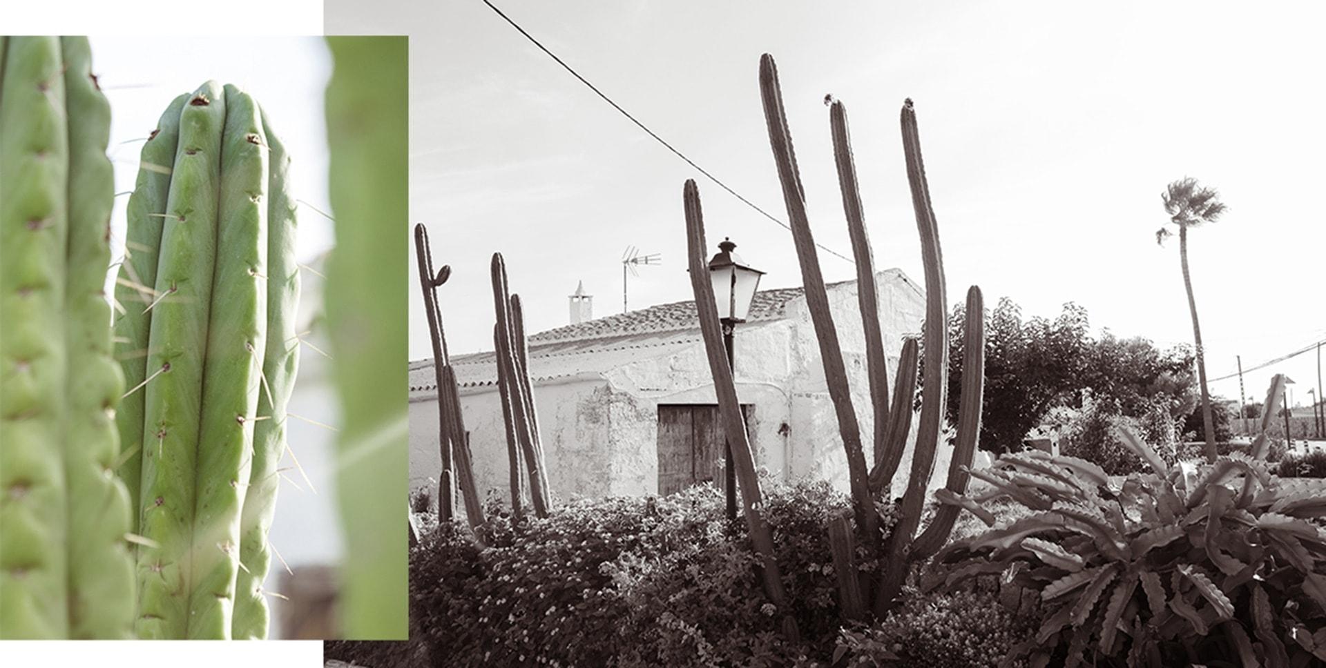 cactus sur l'ile de Minorque