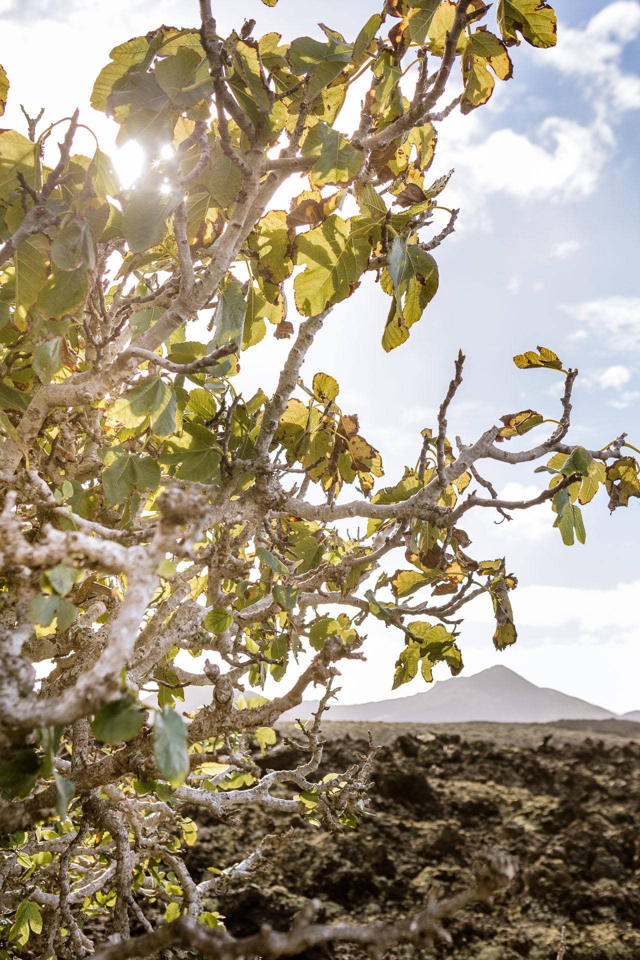 Figuier au coeur de la Caldera Blanca à Lanzarote