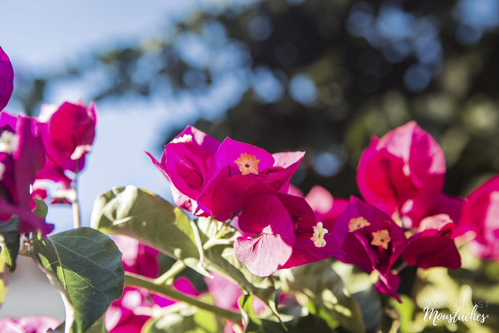 Splendides fleurs de Bougainvillée
