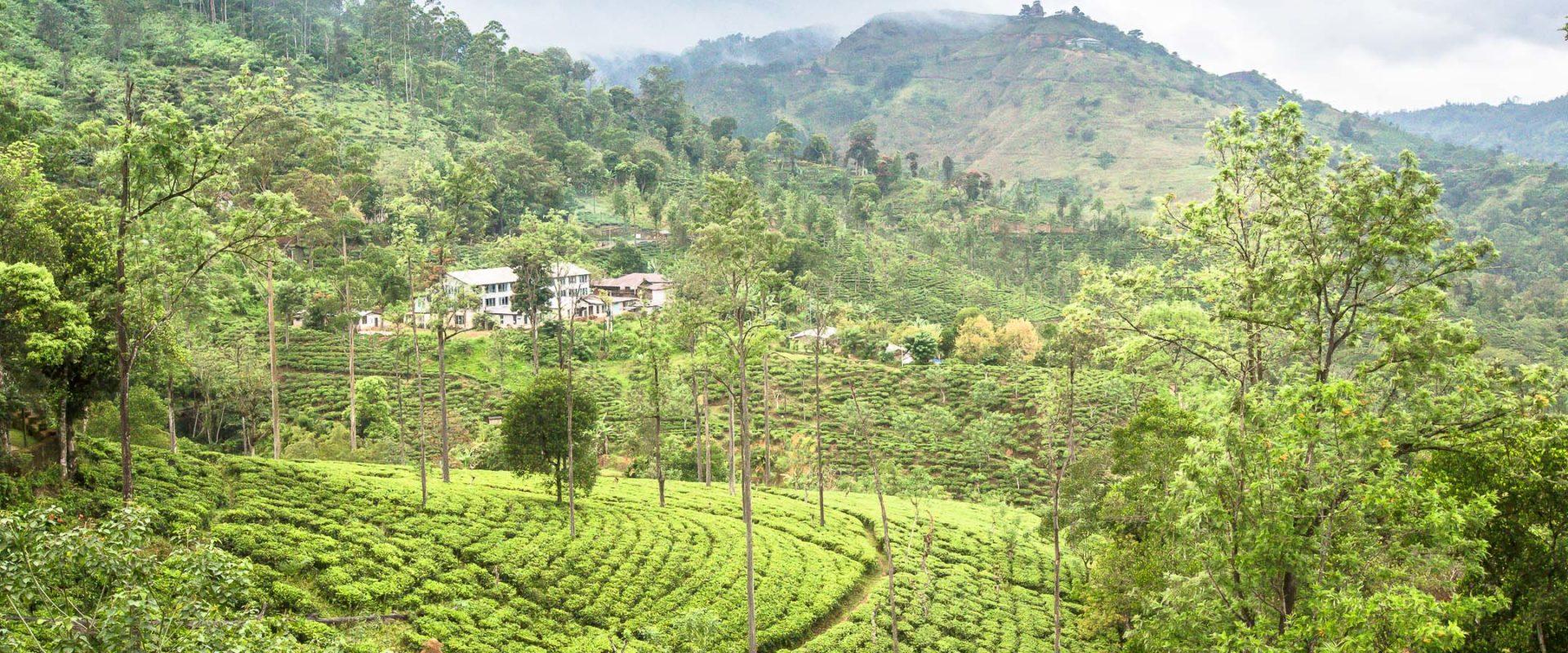 Au Coeur Des Plantations De Thé Au Sri Lanka